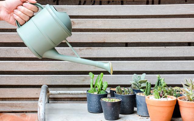 cactus ooreka. Black Bedroom Furniture Sets. Home Design Ideas