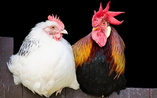 choisir-ses-poules-main.JPEG