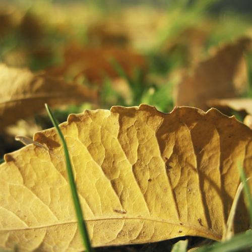 Débarrasser le gazon des feuilles mortes