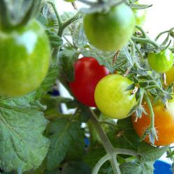10 variétés de tomates