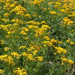 Les fleurs anti-moustiques