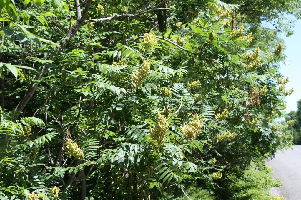 Les arbustes caducs