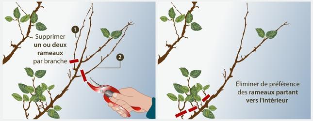 Tailler un abricotier verger - Maladie de l olivier en pot ...