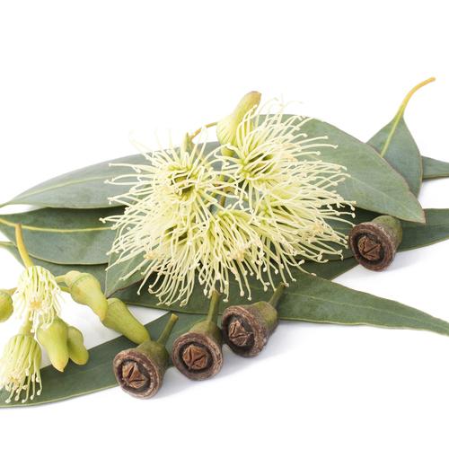 Contre le rhume: adopter les inhalations d'eucalyptus