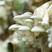 Comment faire pousser des pleurotes ooreka - Cultiver des champignons de paris ...