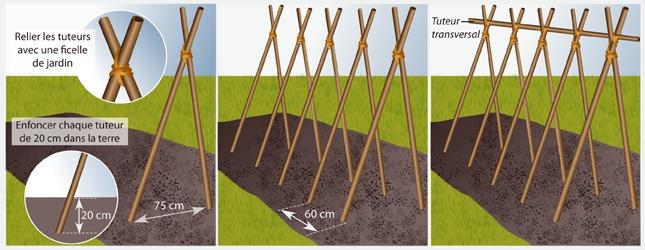Fabriquer des rames pour haricots ooreka - Comment cuire les petit pois du jardin ...