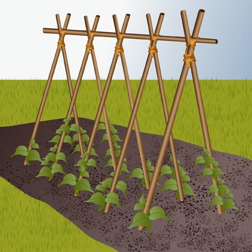 Fabriquer des rames pour haricots