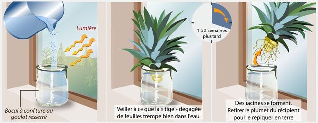 faire pousser un ananas jardinage. Black Bedroom Furniture Sets. Home Design Ideas