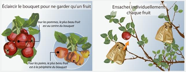 Ensachez les fruits