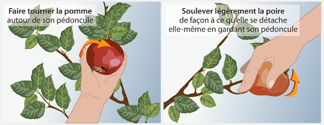 Cueillez les fruits au bon moment