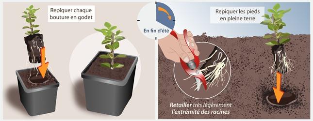 Le bouturage de racines