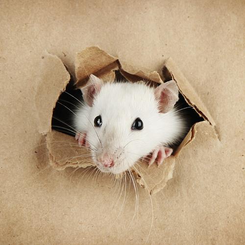 Éliminer les rats de façon naturelle
