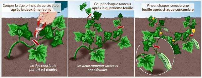 Tailler les plantes coureuses au potager potager for Entretien concombre jardin