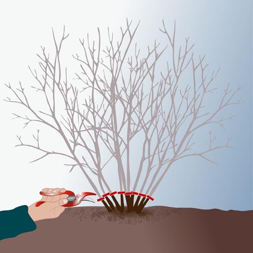Recéper un arbre ou un arbuste