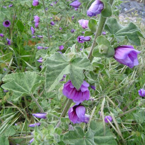 Arbuste floraison automnale liste ooreka - Taille des lauriers fleurs ...