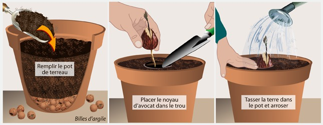 Faire pousser un avocat jardinage - Comment obtenir un avocat commis d office ...