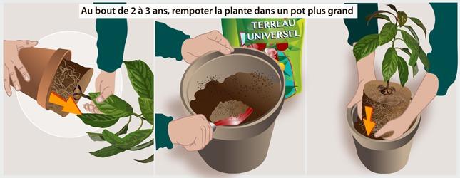 Faire pousser un avocat jardinage for Planter un amaryllis en pleine terre