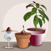 Faire Pousser Un Avocat Jardinage