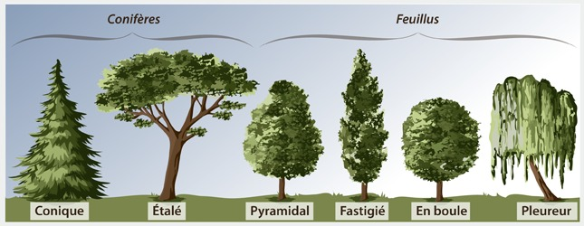 Choisir un arbre am nagement de jardin - Arbre d ornement feuillage persistant ...