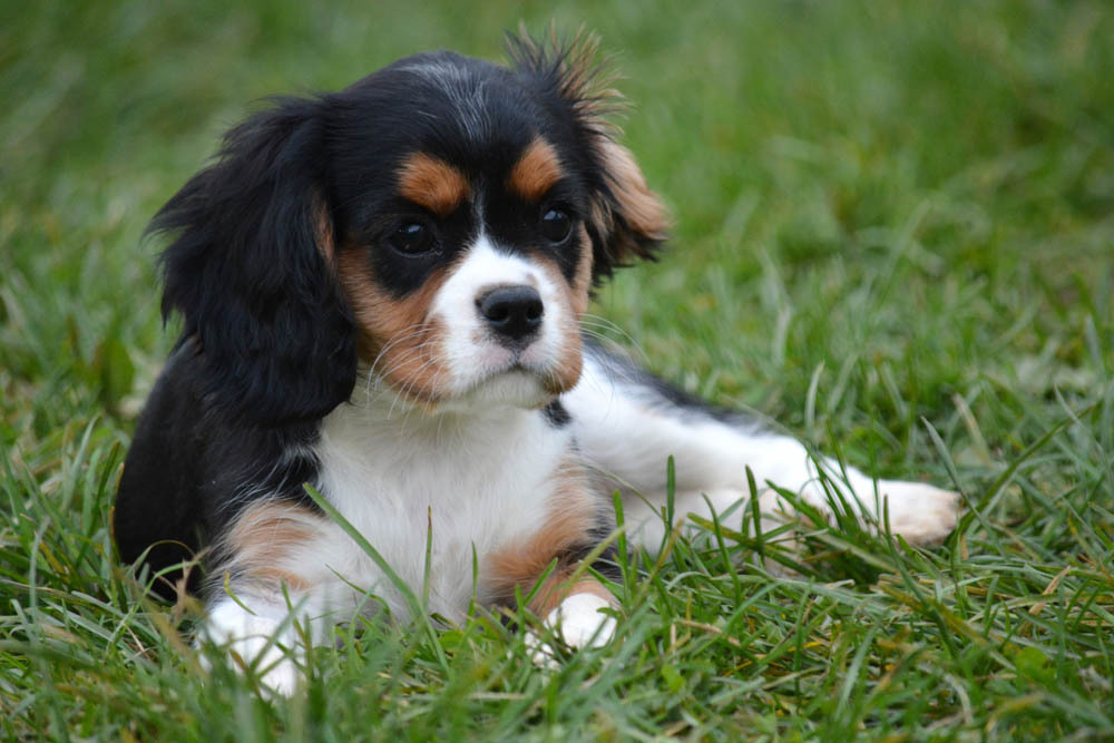 cavalier king charles   caract u00e8re et  u00e9ducation