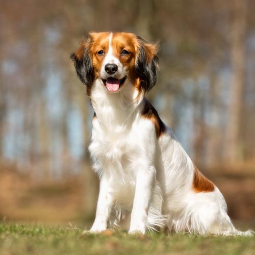 Petit chien de chasse : liste et photos de races - Ooreka