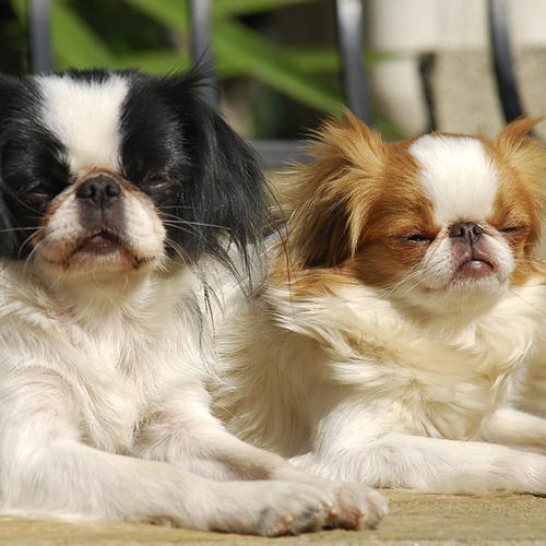 petit chien calme liste et photos de races ooreka. Black Bedroom Furniture Sets. Home Design Ideas