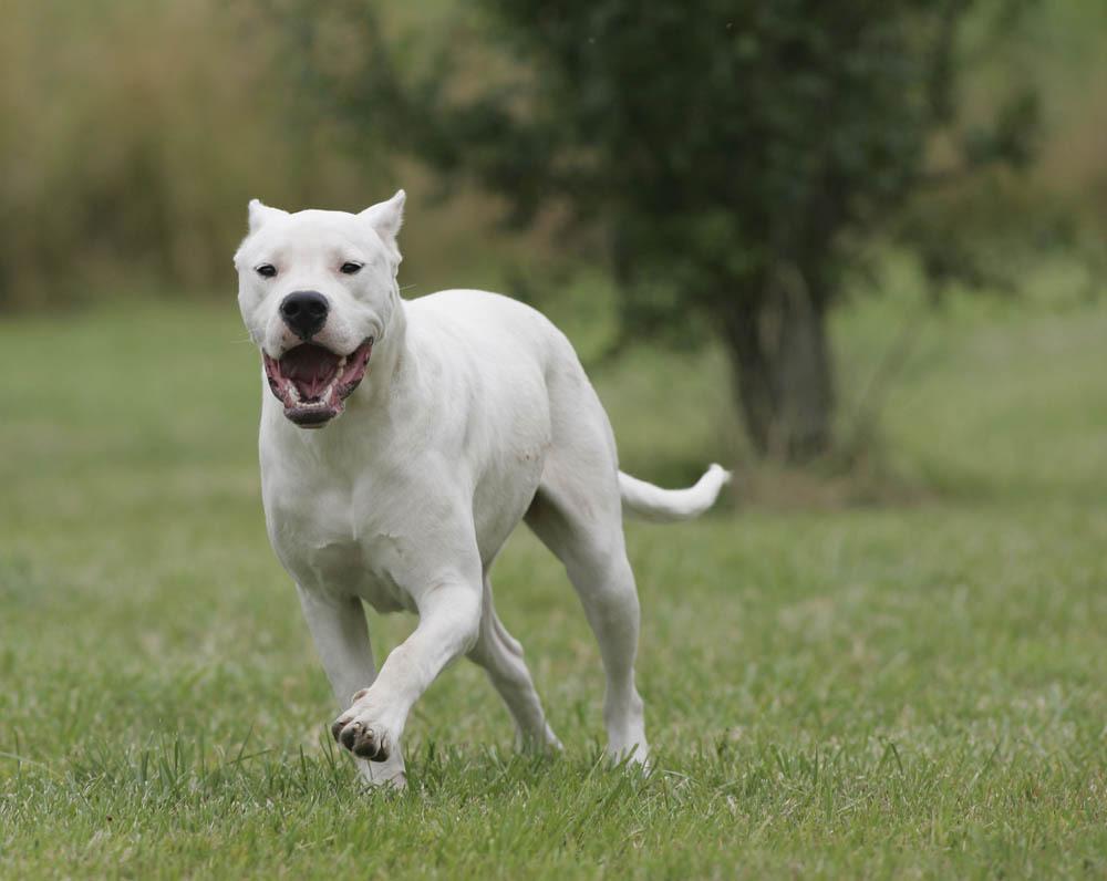 Dogue argentin : caractère et éducation – Ooreka