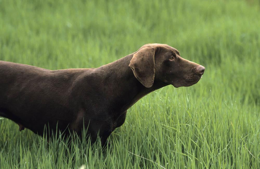Chien d'arr t : chiens de chasse vendre, chiots et Photo braque allemand marron