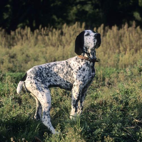 Harrington Veste Danois dogs race chiens les chiens de chasse Protection Chiens