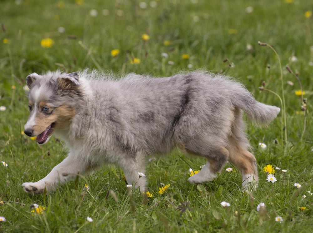 Shetland : caractère et éducation – Ooreka