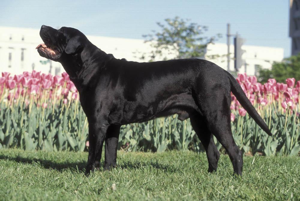 20 chiens de défense