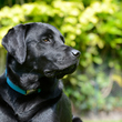 Caractère du Labrador