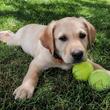 Mode de vie du Labrador