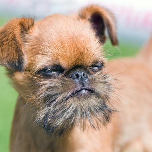 petit chien poils courts   liste et photos de races