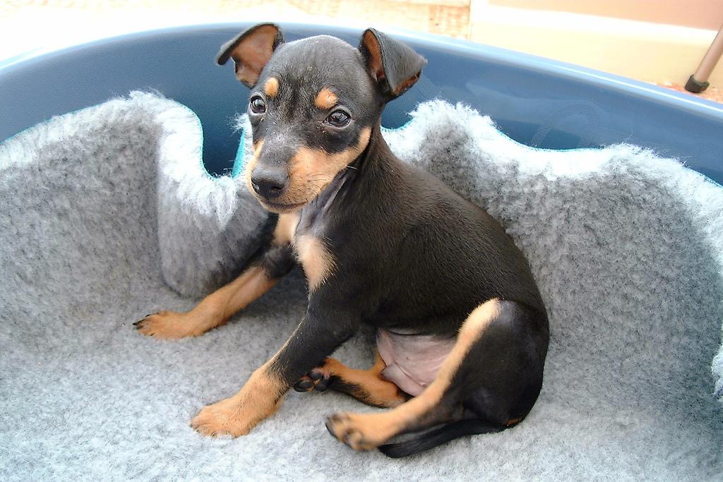 toy terrier anglais noir et feu caract re et ducation. Black Bedroom Furniture Sets. Home Design Ideas