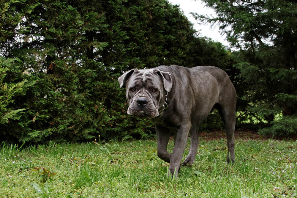 Grand Chien Gris Liste Et Photos De Races Ooreka