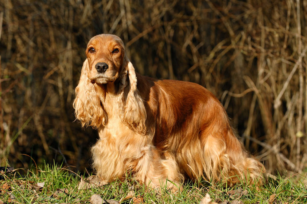 """cocker spaniel essay 2018-10-18 the spaniel in titian's venus of urbino is technically correct, as are eighteenth-century pooches painted by george stubbs for comparison, her book contains a mug shot of a puppy described as """"noseless atrocity, bred by author,"""" while another dog's portrait is captioned: """"noseless toy spaniel."""