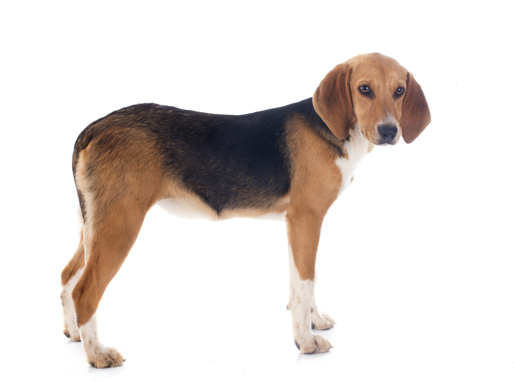 Beagle harrier : caractère et éducation – Ooreka