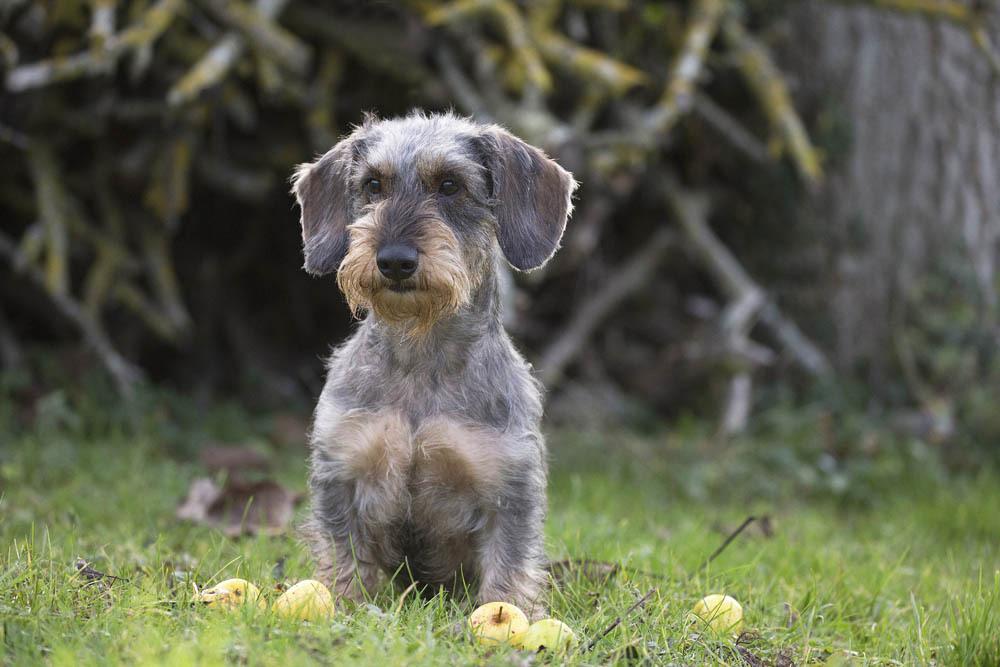 teckel a poil dur - Les races de chiens et leurs origines