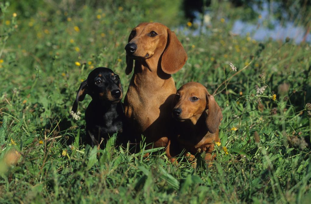 Photo - Elevage de Vormes - eleveur de chiens Teckel poil
