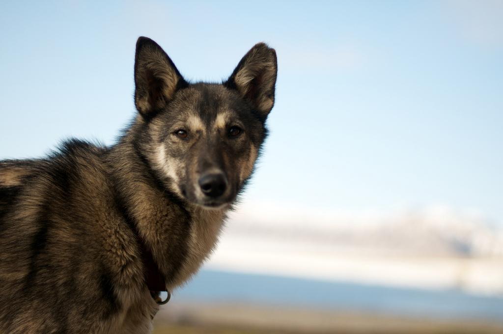 Alaskan husky - 1