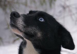 Caractère du Alaskan husky