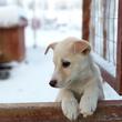 Mode de vie du Alaskan husky