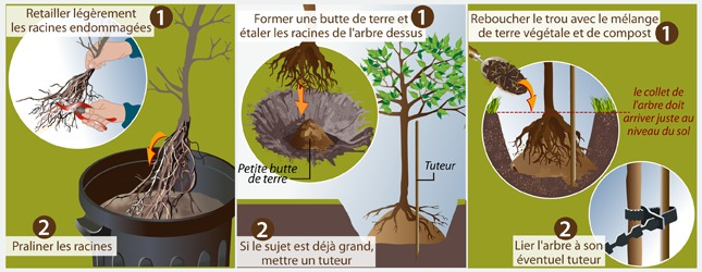 Cas n° 1 : Plantez un arbre à racines nues