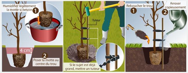 Cas n° 2 : Plantez un arbre en motte