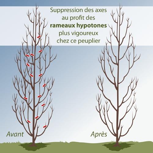 Comment r aliser la taille d entretien d 39 un arbre for Taille d un albizia