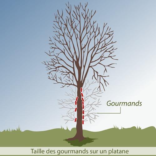 comment r aliser la taille d entretien d 39 un arbre. Black Bedroom Furniture Sets. Home Design Ideas