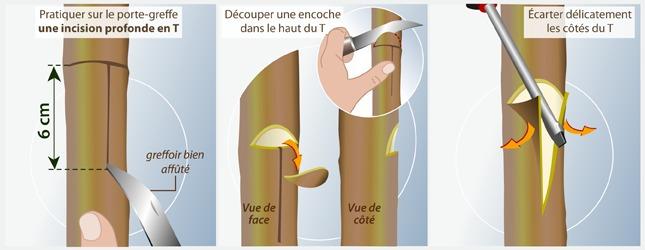 Comment faire une greffe en coul e - Comment avoir des citrons sur un citronnier ...