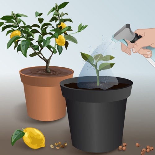 Faire pousser des pépins d'agrumes