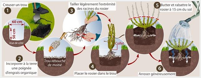 Comment transplanter un rosier - Quand tailler les rosiers buisson ...